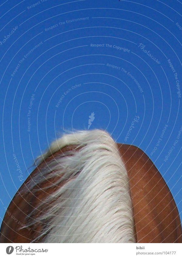Schneelawine ? Himmel blau Sommer Berge u. Gebirge Schnee Glück braun blond Rücken Pferd Hals Säugetier Pony Blauer Himmel Mähne Bergkamm