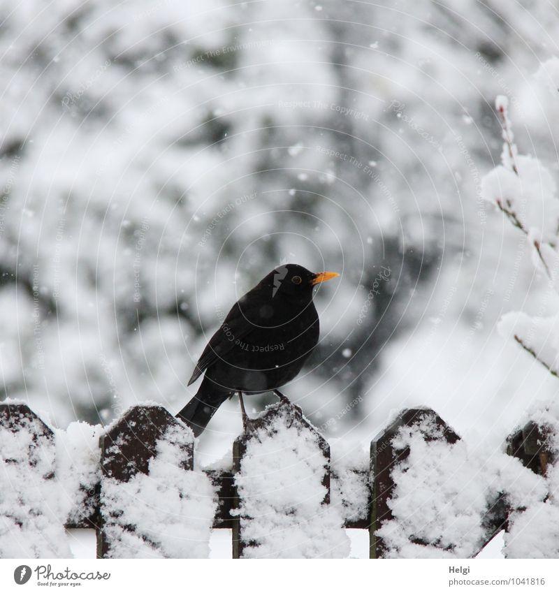im Schneegestöber... Umwelt Natur Landschaft Winter Schneefall Garten Tier Wildtier Vogel Amsel 1 Zaun Holz stehen warten authentisch kalt natürlich braun gelb
