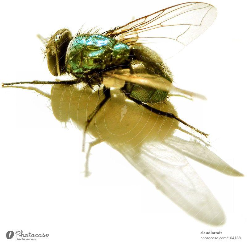 post mortem Fliege Insekt krabbeln Facettenauge durchsichtig schimmern glänzend Leiche Plage Flügel grünlich Makroaufnahme rechnen Schatten Haare & Frisuren