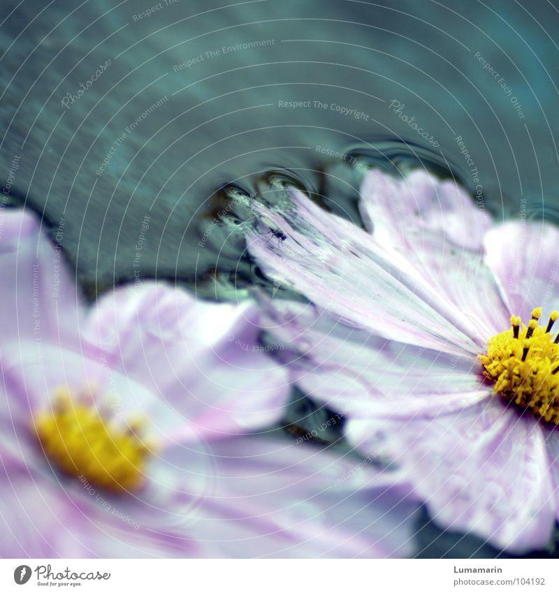 Der Sommer geht vorbei I Blume gepflückt Blüte Blütenblatt einzeln Kreis kalt frisch Pfütze Rinnstein Abfluss Im Wasser treiben Strandgut fließen gebrochen