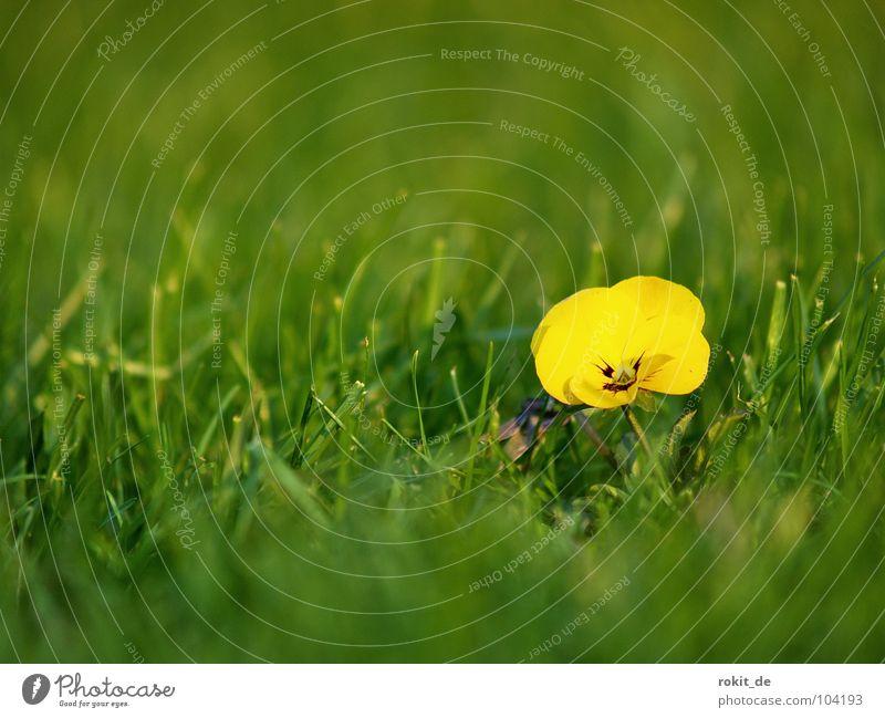 Scharfes Mütterchen grün Pflanze Sommer Blume Freude Einsamkeit gelb Wiese Wunsch Rasen Klarheit Tiefenschärfe Lust Stiefmütterchen Blümchensex