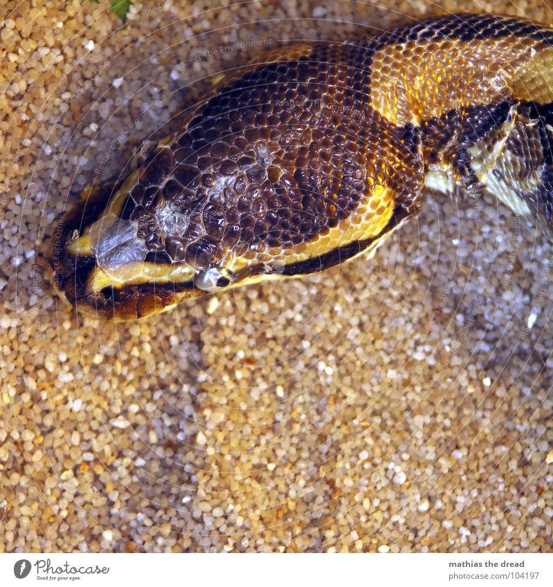 schlange Windung braun beige Zoo Tiergarten biegen Muster anmutend gefährlich ruhend schwarz dunkel Kopfschuppe Leben Tierhaut Tierschutz Kraft töten Angst