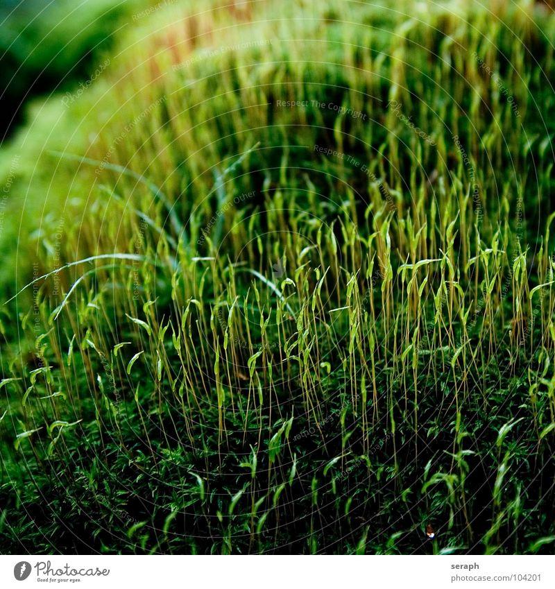 Moose Pflanze grün Hintergrundbild Laubmoos Bodendecker Sporen Symbiose Natur mikro Flechten Makroaufnahme Botanik Wachstum Strukturen & Formen Waldboden klein