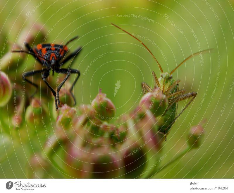 Meeting Natur rot Sommer Blüte Gras Beine Hintergrundbild Insekt Sitzung Blühend Samen Verabredung Käfer Fühler hüpfen krabbeln