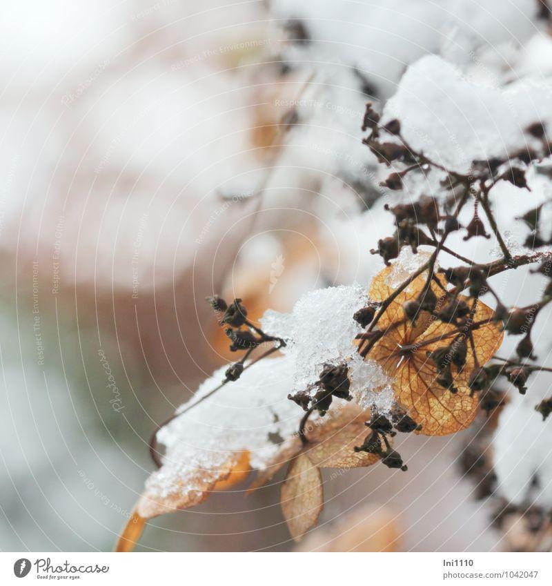 es taut Natur Landschaft Pflanze Wasser Winter schlechtes Wetter Eis Frost Schnee Schneefall Blüte Wildpflanze Kletterhorthensie Garten Park Flüssigkeit frisch
