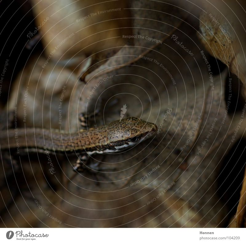 Camouflage Blatt Stein braun Felsen trocken krabbeln Reptil Tarnung Unterholz Mauereidechse
