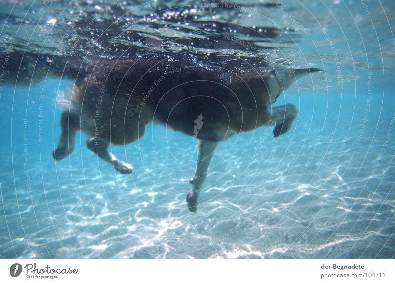 und er schwimmt doch! Wasser blau Sommer Freude Ferien & Urlaub & Reisen Tier Spielen Hund Wärme Sand Angst nass gefährlich bedrohlich tauchen Schwimmen & Baden