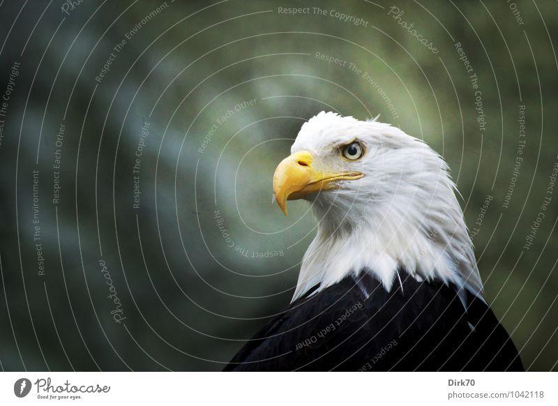 Adlerauge Wald Tier Wildtier Vogel Greifvogel Weisskopfseeadler Feder 1 Zeichen Wappentier USA beobachten Jagd Blick Aggression ästhetisch außergewöhnlich