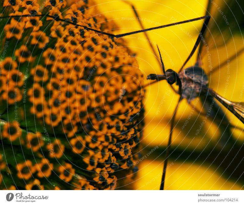 Fliegding an Gelbding Blume gelb grün Blüte Pflanze Pollen Lebenslauf Insekt Schuster Schnake Stechmücke groß braun Staubfäden Pause Erholung Ernährung Geruch
