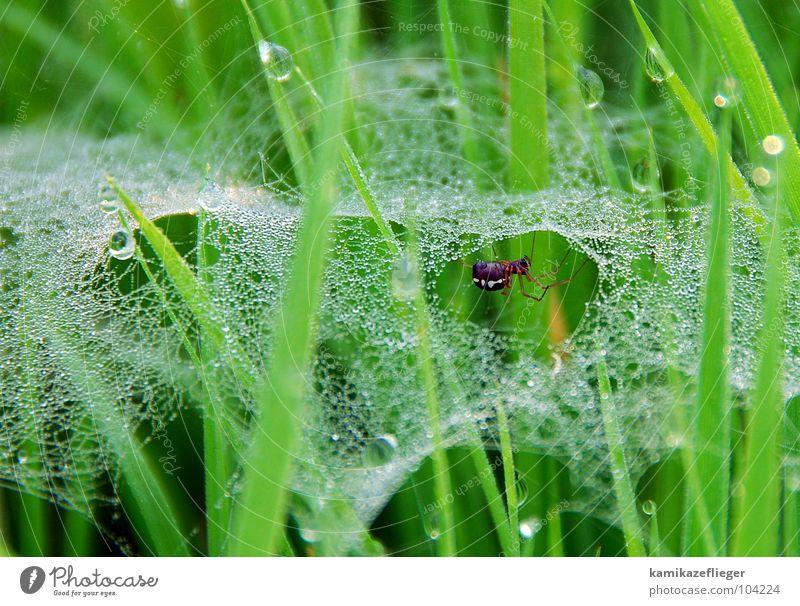 schau mal, wer da spinnt Wasser grün Sommer Wiese Gras Wassertropfen Geschwindigkeit Netz Tau Spinne fleißig Spinnennetz spinnen Polder Uckermark