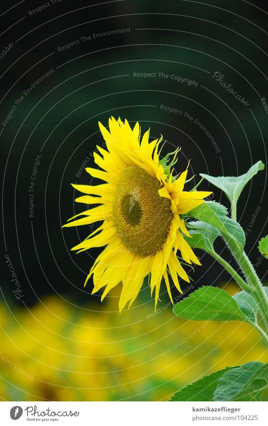 die wächterin Sonnenblume Sonnenblumenfeld Wachsamkeit gelb braun grün Sommer Blume Blühend