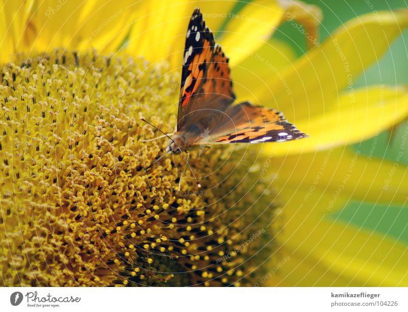 wer nascht denn da...... Natur Blume grün Sommer Ferien & Urlaub & Reisen schwarz gelb Blüte braun fliegen sitzen süß Schmetterling Blühend Sonnenblume Fressen