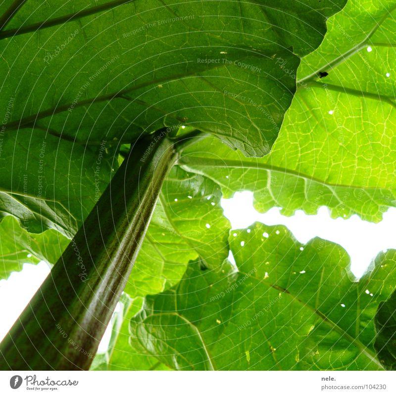 péniblement Rhabarber Licht grün Sauerland Stengel Blatt Loch Gesundheit frisch knackig Beleuchtung Froschperspektive Gefäße dunkel Wachstum streben Gemüse