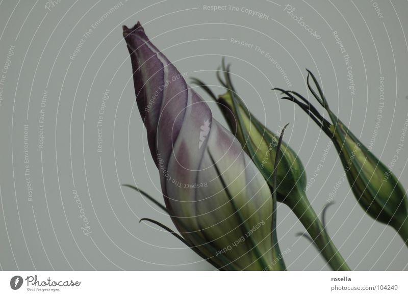 Flower Blume grün violett Blüte Natur Pflanze geschlossen.Schönheit