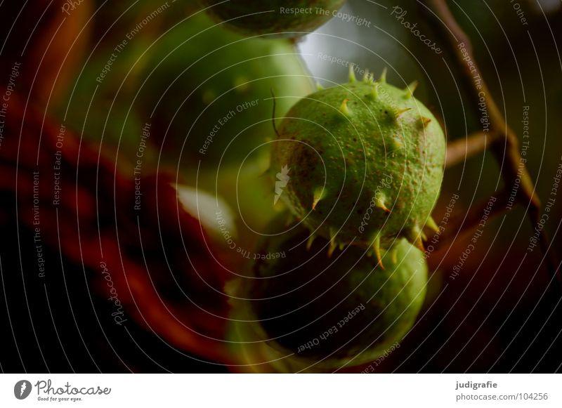 Spätsommer Natur grün Baum Sommer Farbe Blatt Umwelt Herbst Spitze Ast Zweig Schalen & Schüsseln Stachel Kastanienbaum Laubbaum Igel