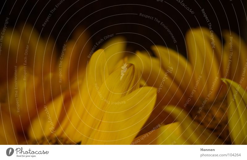Sun In The Dark Natur schön Pflanze Sommer schwarz gelb dunkel Feld Wachstum Ernte Sonnenblume Erdöl Samen Kerne Biologie Vase