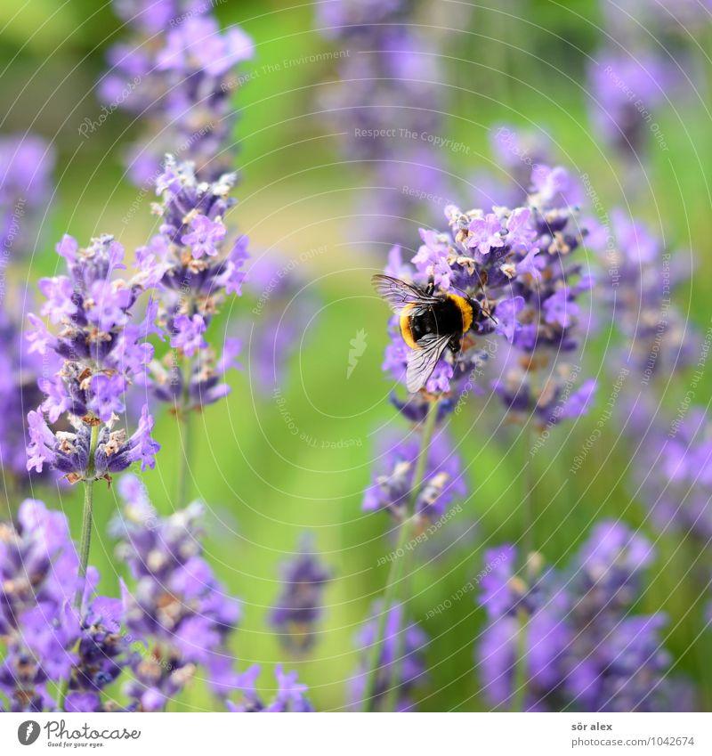 Sommer Blume Blüte Pollen Tier Insekt Hummel 1 nachhaltig grün violett Natur Ordnung fleißig Naturliebe Farbfoto Außenaufnahme Menschenleer Textfreiraum oben