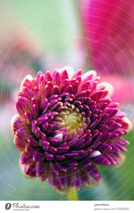 Endlich Herbst! Pflanze Blume exotisch Dahlien Knollengewächse Georginen Garten Park Blühend Duft ästhetisch elegant schön grün violett Sympathie Freundschaft