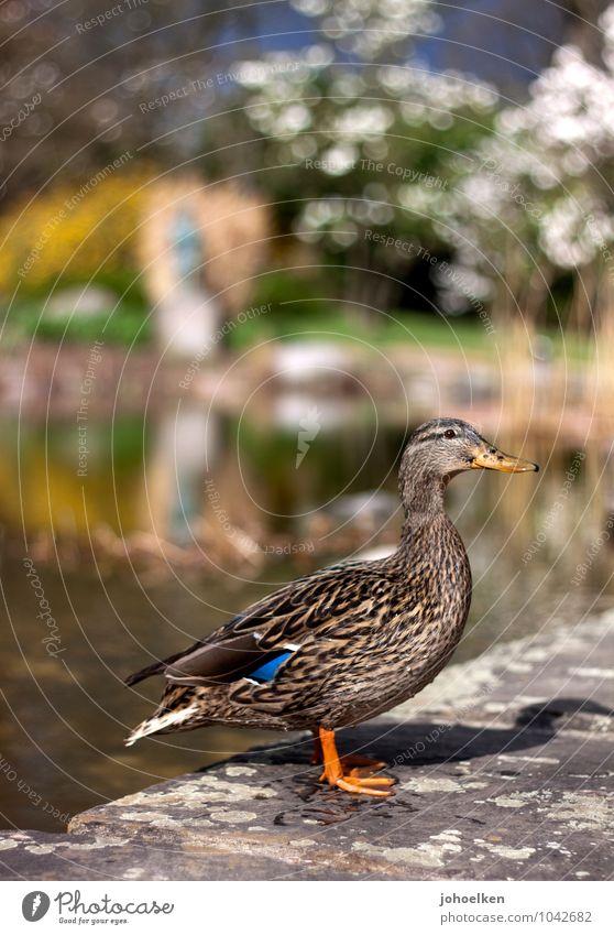 Duckface Umwelt Tier Wasser Frühling Sommer Schönes Wetter Park Teich See Wildtier Stockente Ente Entenvögel 1 Stein stehen braun gelb grün Fröhlichkeit