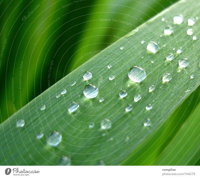 Nach dem Regen! Schilfrohr See Regenwasser rund grün Pflanze Seeufer Sommer frisch Wassertropfen Tropfen Blattadern Gefäße Reifezeit Wachstum Sträucher Klarheit