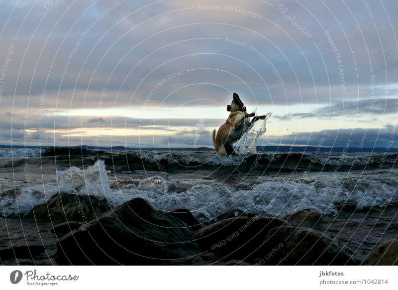 150 | Freudensprung Umwelt Natur Urelemente Wasser Wolken Horizont Wellen Küste Seeufer Tier Haustier Hund Golden Retriever Gefühle Stimmung Glück Fröhlichkeit