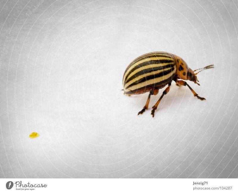 Was verloren. Kartoffelkäfer Schiffsbug Makroaufnahme krabbeln Insekt Streifen gehen Käfer Schädlinge insect fortlaufen go away