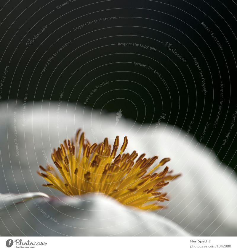Bienenperspektive Natur Pflanze Blume Blüte ästhetisch schön gelb weiß Blütenstempel Blütenkelch Fortpflanzung verführerisch Erotik Farbfoto Gedeckte Farben