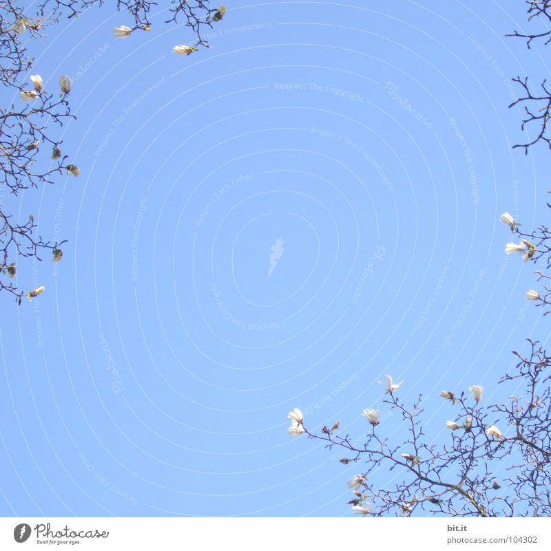 BLÜTEZEIT Himmel Natur weiß blau schön Baum Pflanze Sommer oben Blüte Frühling Blühend Schönes Wetter Blume Zweige u. Äste Wolkenloser Himmel
