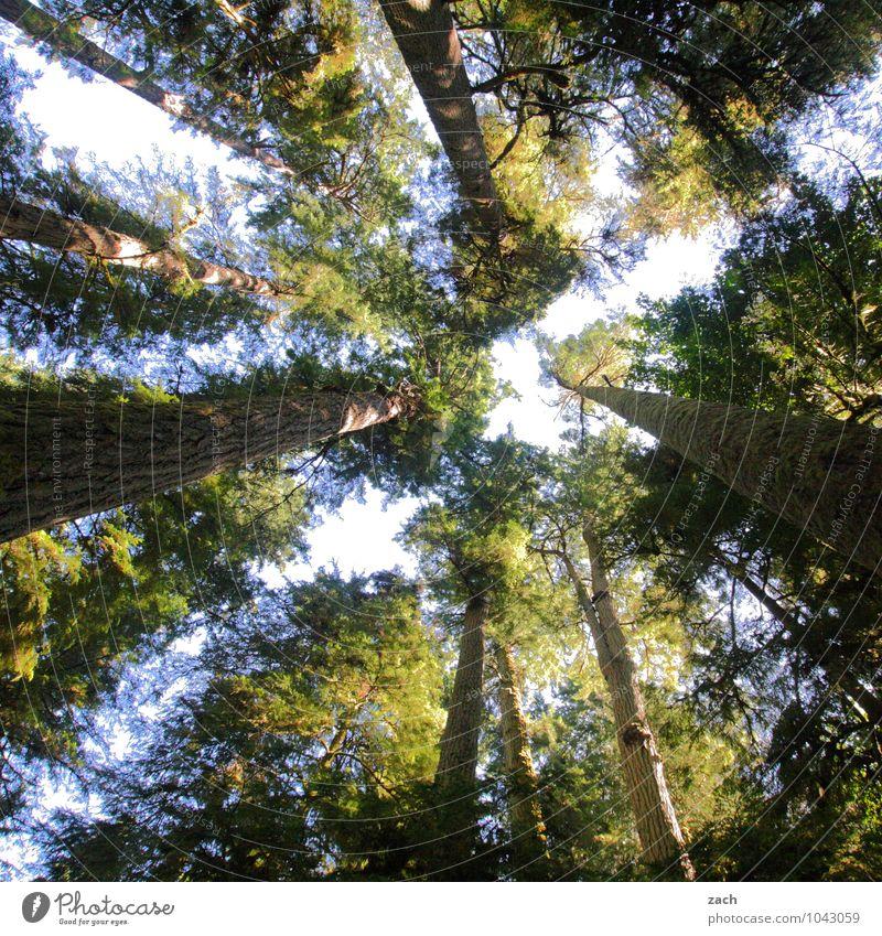 langlebig | Wachstum Pflanze Baum Blatt Wald Urwald alt groß hoch grün Douglasie Kanada Nordamerika aufstrebend Farbfoto Außenaufnahme Menschenleer Tag