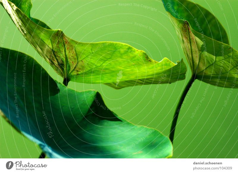 güner Lotus grün Monochrom grasgrün Photosynthese abstrakt Hintergrundbild Stengel Blattadern dunkelgrün Teich Pflanze Wachstum Sommer Frühling Park