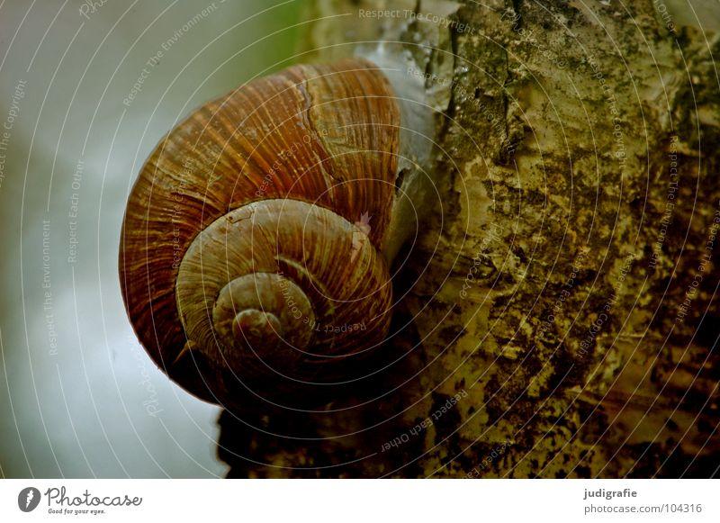 drinnen und draußen Natur Baum Tier Einsamkeit Umwelt Leben braun Sicherheit Schutz Schnecke Schalen & Schüsseln Baumrinde Birke Weichtier Schneckenhaus gedreht
