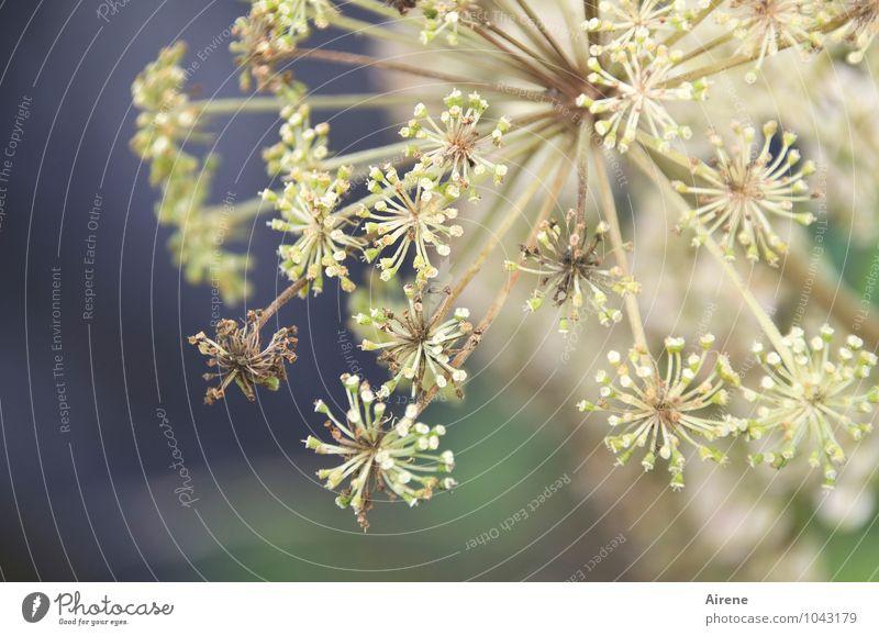 Angelika für Valentin Pflanze Blume Blüte Engelswurz Blühend hell blau grün weiß Gesundheit Natur Alternativmedizin Medikament Stern (Symbol) zart zartes Grün
