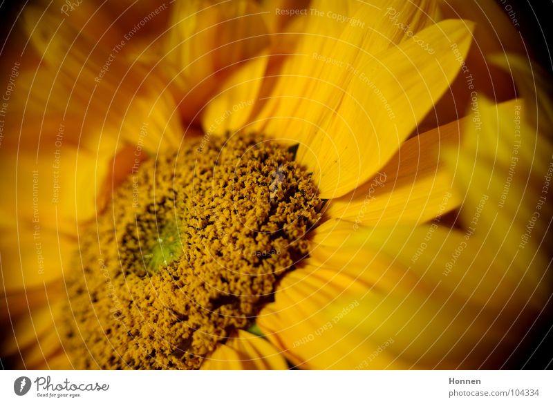 Sun In The Dark II Natur schön Pflanze Sommer schwarz gelb dunkel Feld Wachstum Ernte Sonnenblume Erdöl Samen Kerne Biologie Vase