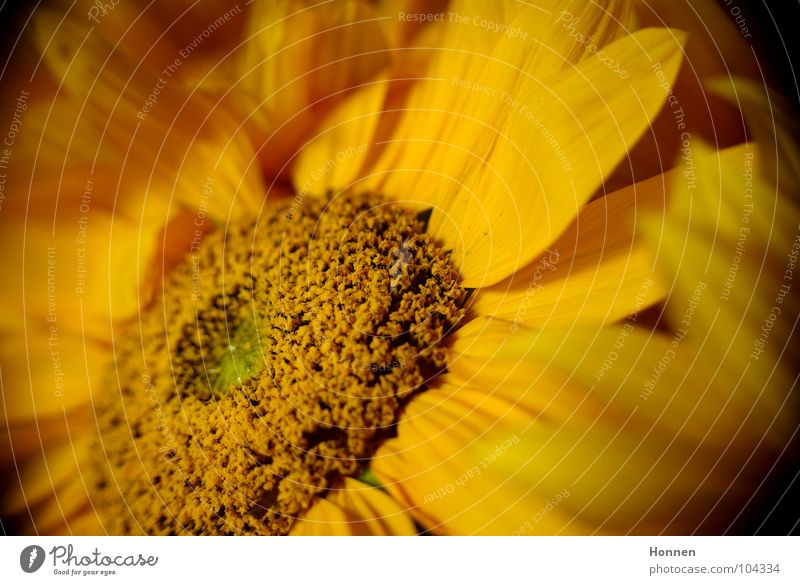 Sun In The Dark II Sonnenblume Korbblütengewächs gelb schwarz Pflanze Vase dunkel Bedecktsamer Zierpflanze Sommer Feld Reifezeit Wachstum Lieblingsblume Kerne