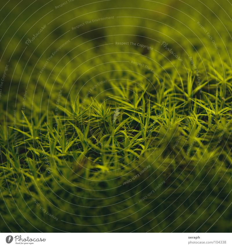 Moose Natur Pflanze grün Hintergrundbild klein Wachstum Stern (Symbol) weich Stengel Moos Botanik Nest Flechten Flechten Waldboden Sporen