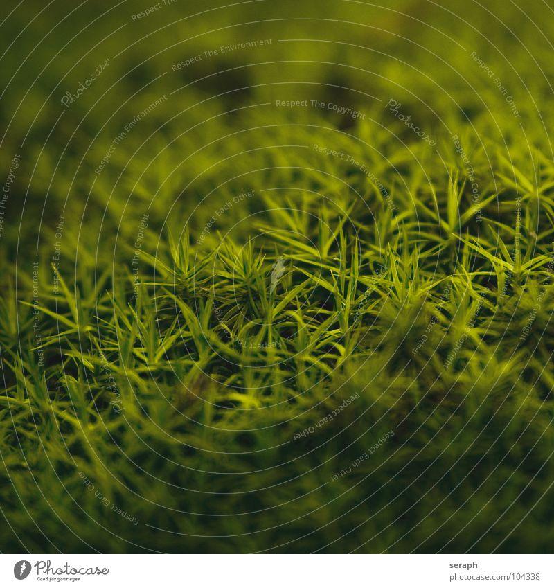 Moose Pflanze grün Hintergrundbild Laubmoos Bodendecker Sporen Symbiose Natur sporophyt mikro Flechten Makroaufnahme Botanik Wachstum Strukturen & Formen