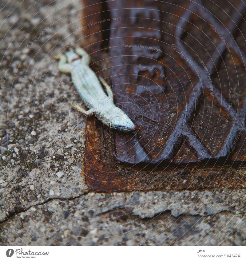 Todmüde Tier Totes Tier Echte Eidechsen Salamander 1 Stein Rost schlafen Müdigkeit Einsamkeit Erschöpfung Trägheit bequem Ende Stadt Zerstörung Farbfoto