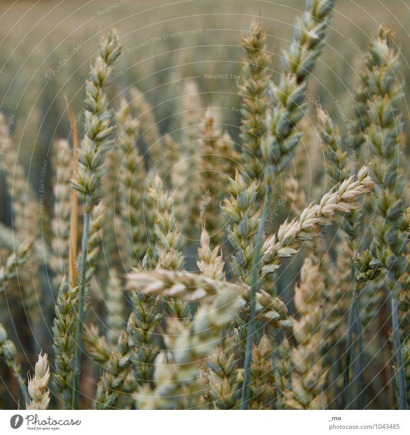 Ein Weizen bitte. Getreide Umwelt Natur Tier Frühling Sommer Pflanze Gras Weizenfeld Weizenähre Weizenkörner natürlich grün Feld Feldfrüchte Ähren Getreidefeld