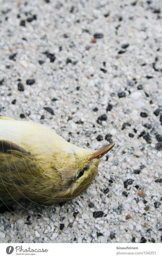 Unseen Wall Tier Tod Vogel liegen Boden Feder Unfall bewegungslos Grünfink Grünling