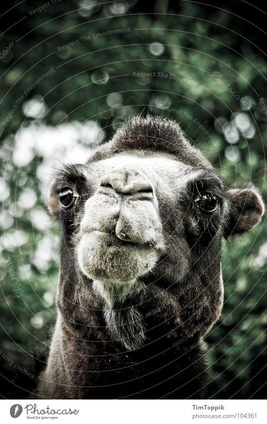 Ein Kamel, ein Kamel! Mutter... Dromedar Schnauze Blick Zoo trotzig Neugier Afrika Arabien Säugetier Wüste Wasserträger Sahara Kamelrennen Kamelhaardecke