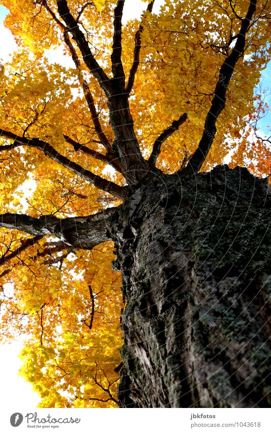 colourful giant Umwelt Natur Wolkenloser Himmel Sonne Klima Schönes Wetter Wärme Baum Ahorn Garten Park Stimmung Freude Glück Euphorie Kraft gigantisch Koloss