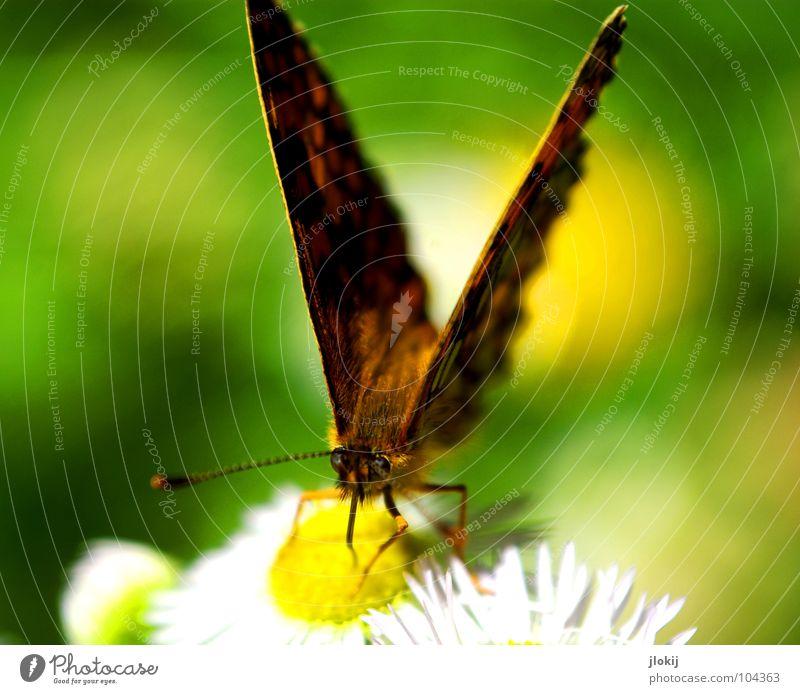 V Schmetterling Muster Insekt flattern Fühler Blume Blüte Staubfäden Sammlung Stengel Pflanze Ernährung violett Tier Frühling Unbeschwertheit Biologie Chitin