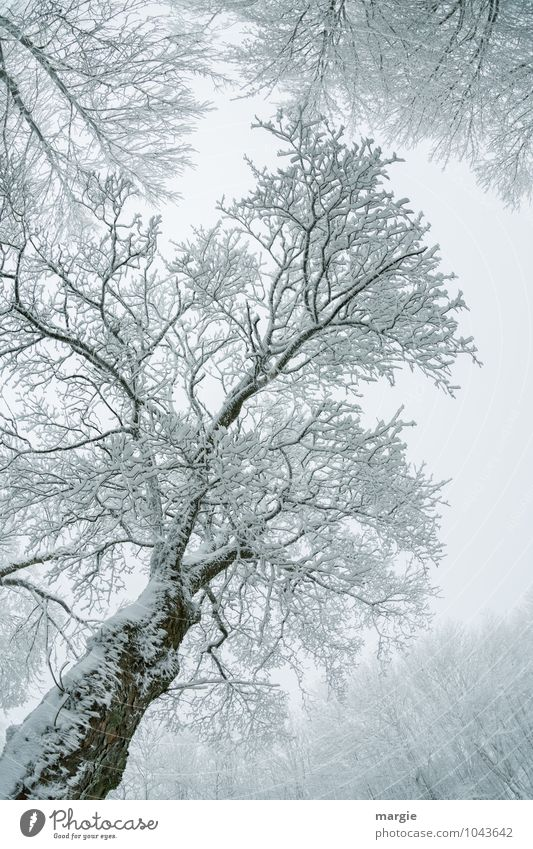 Filigraner Eis - Baum Umwelt Natur Pflanze Tier Wasser Winter Klima Wetter Frost Schnee Schneefall Ast Baumstamm Baumkrone Zweige u. Äste Wald frieren Wachstum