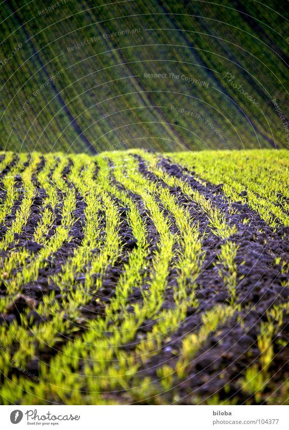 Es spriesst wieder Natur grün Pflanze Leben Feld Wellen Hintergrundbild frisch Bodenbelag Getreide Landwirtschaft Reihe Anordnung Aussaat Jungpflanze