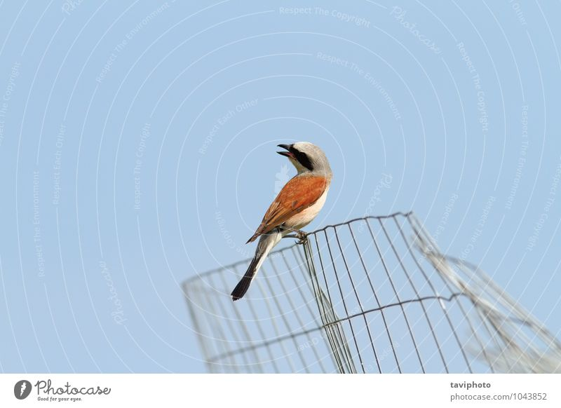 Rotrückenwürger schön Sommer Umwelt Natur Tier Himmel Vogel beobachten Sauberkeit wild blau braun rot Farbe Würger rotbraun Lanius collurio Hintergrund Zaun