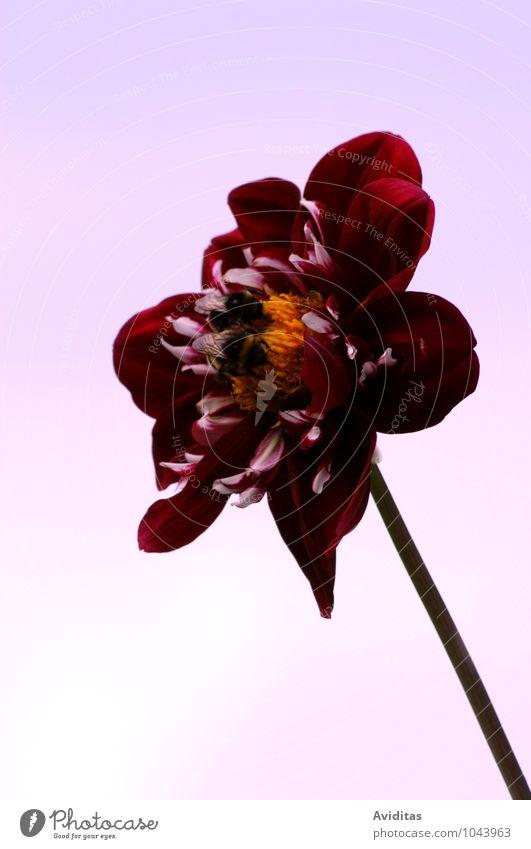 Summ herum elegant Glück Wellness Leben Duft Sommer Umwelt Natur Pflanze Luft Wolkenloser Himmel Sonne Herbst Schönes Wetter Blume Blüte Grünpflanze Nutzpflanze