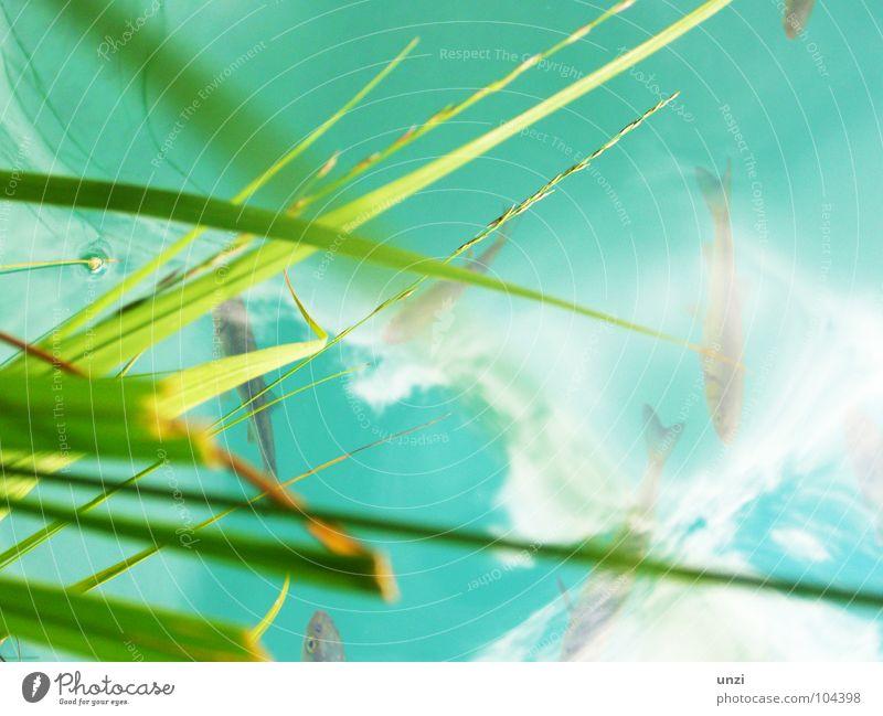 diving under my grass Natur grün blau ruhig Einsamkeit Tier Gras hell Fisch Fluss Sauberkeit rein Klarheit türkis tief Halm