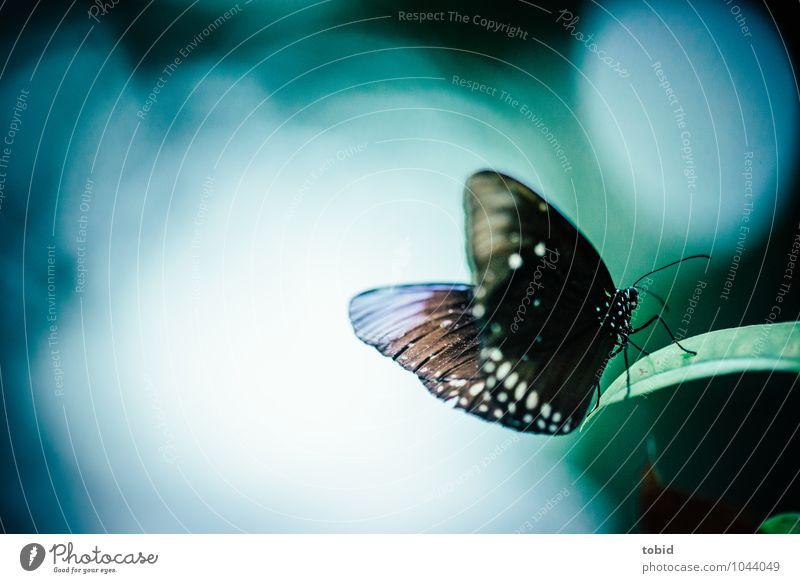 Tropischer Tagfalter Natur blau Pflanze schön grün weiß Blatt Tier grau braun elegant Wildtier ästhetisch Flügel dünn nah