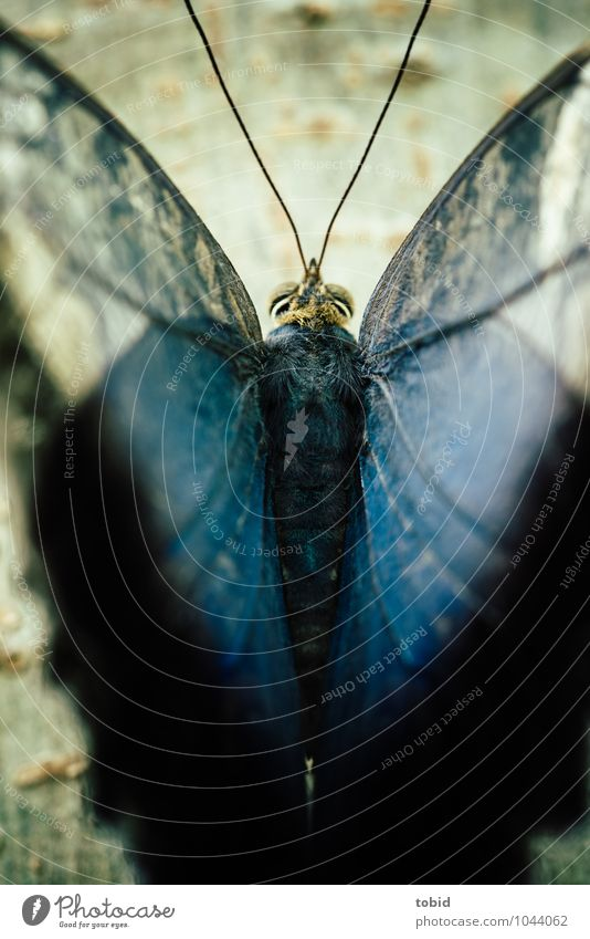 Butterfly Natur Baum Baumrinde Baumstamm Tier Wildtier Schmetterling Flügel Fell Fühler Facettenauge 1 ästhetisch außergewöhnlich elegant nah weich blau
