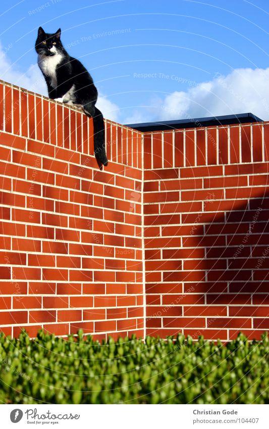 Auf der Lauer auf der Mauer Katze Backstein Hecke Vorgarten grün rot schwarz weiß Tier Sommer Säugetier Himmel Ecke blau Hauskatze Ganzkörperaufnahme beobachten